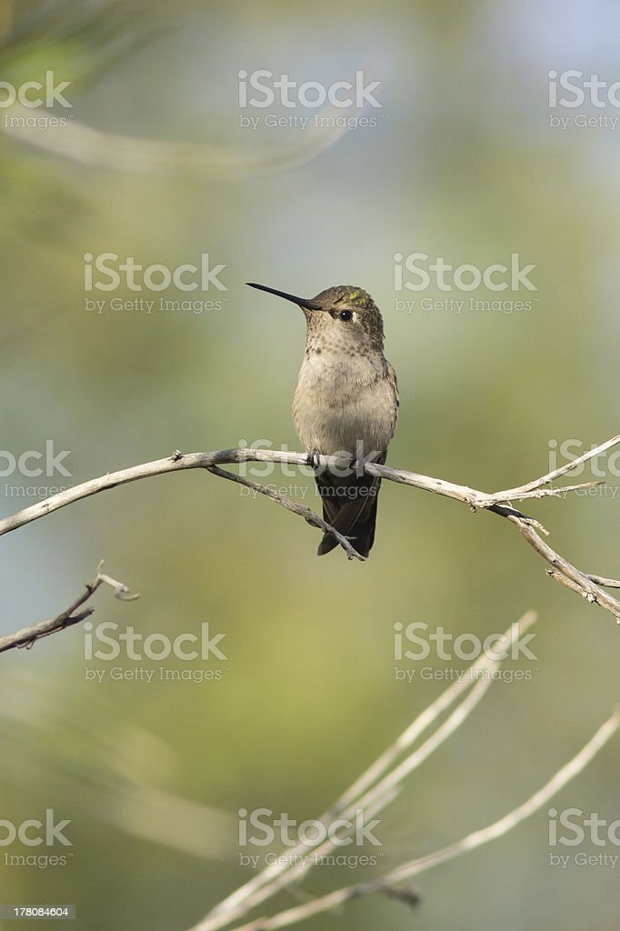 Perching Anna's Hummingbird royalty-free stock photo