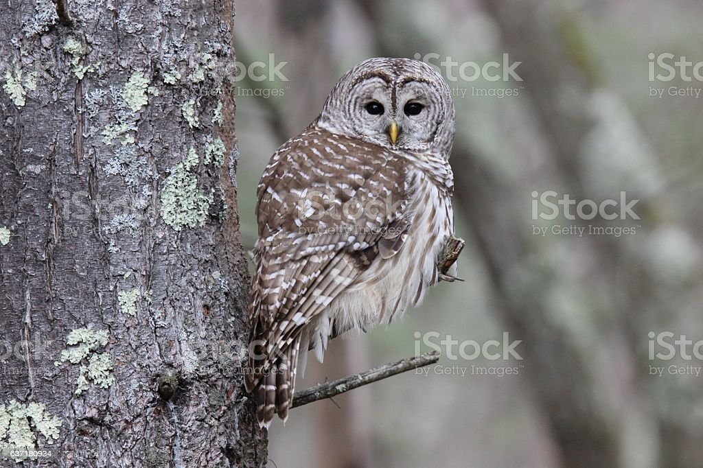 Perching Barred Owl stock photo
