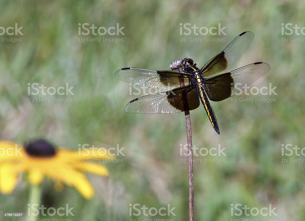 Perching Dragonfly royalty-free stock photo