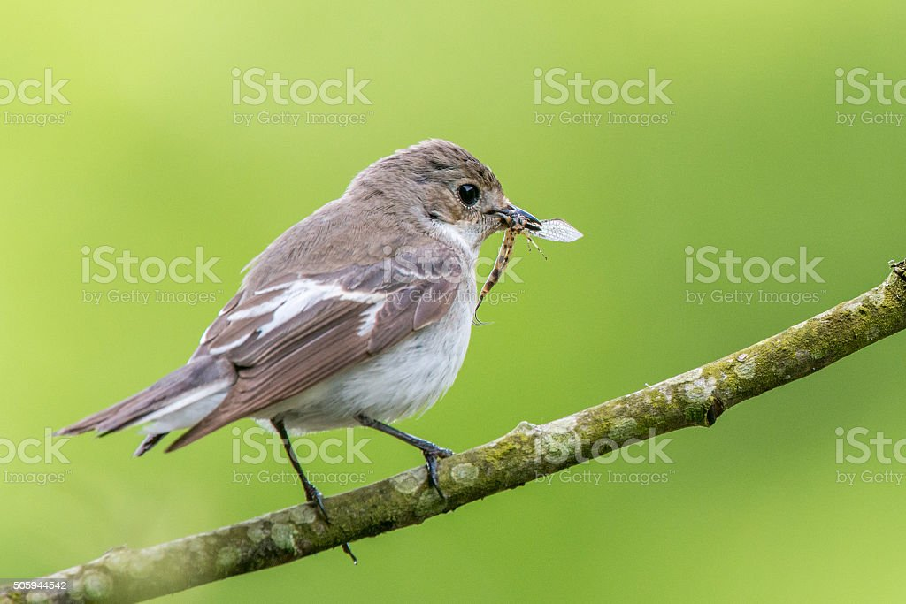 Perching female pied flycatcher with mayfly stock photo