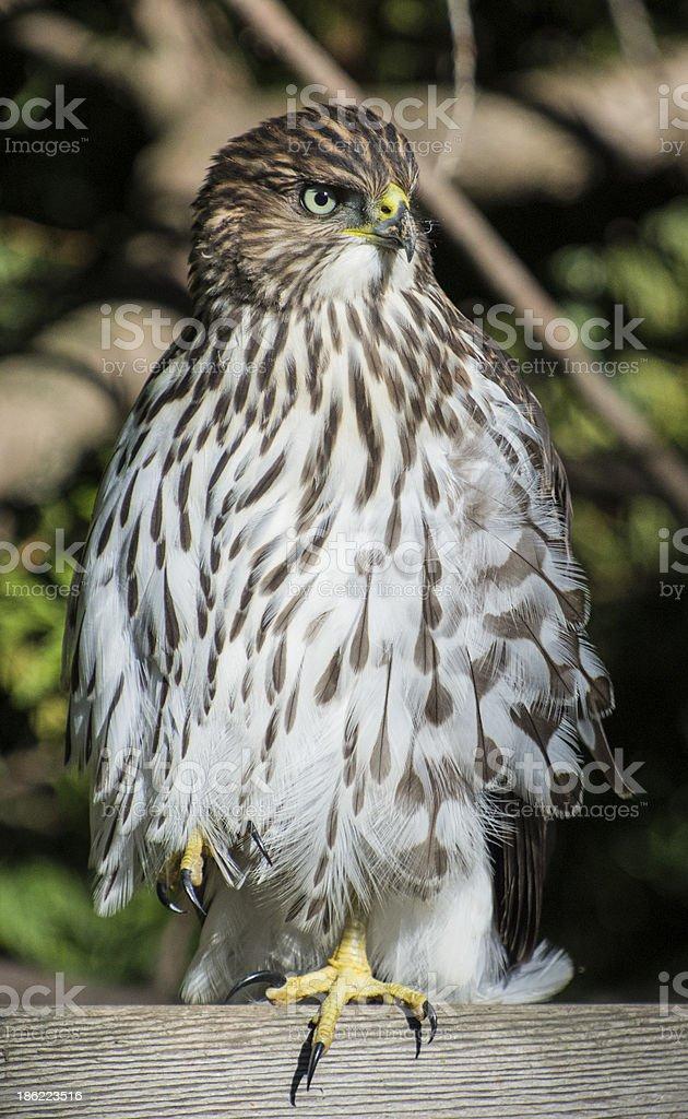 Perching Hawk stock photo