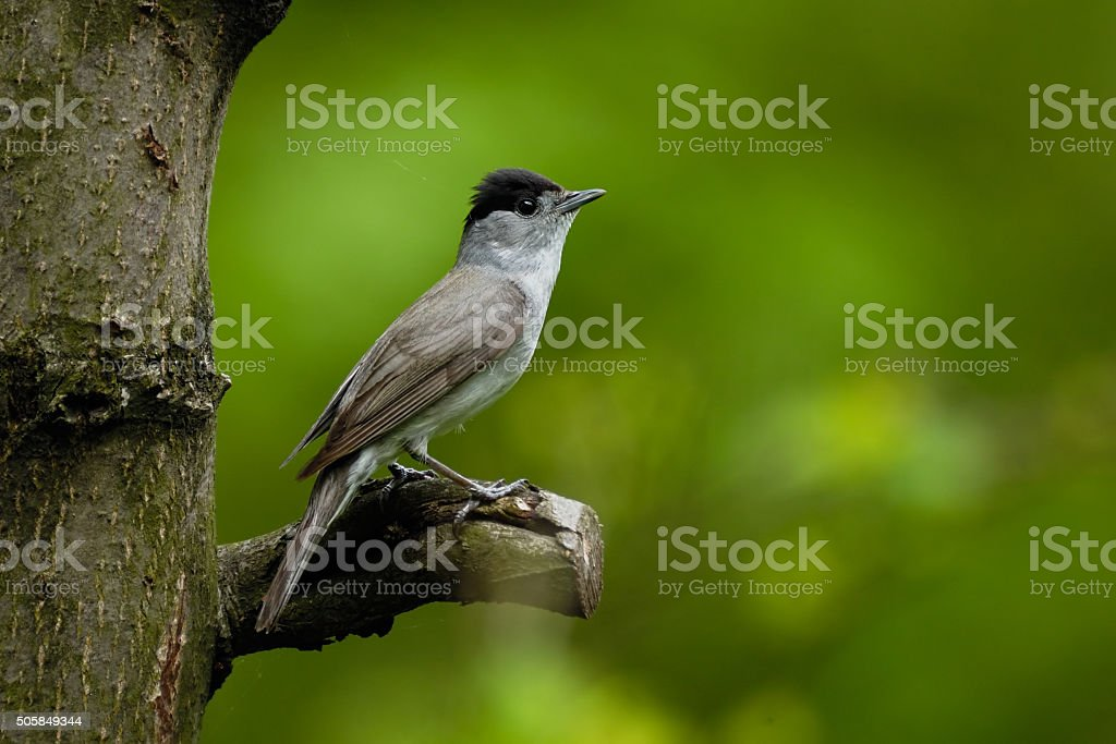 Perching male Blackcap in green forest stock photo