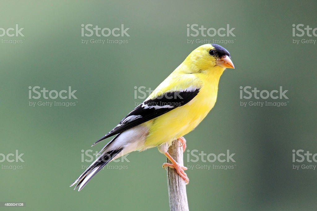 Perching Male Goldfinch stock photo