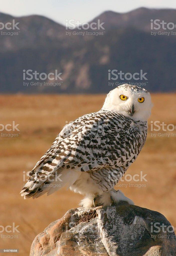 Perching Snowy Owl royalty-free stock photo
