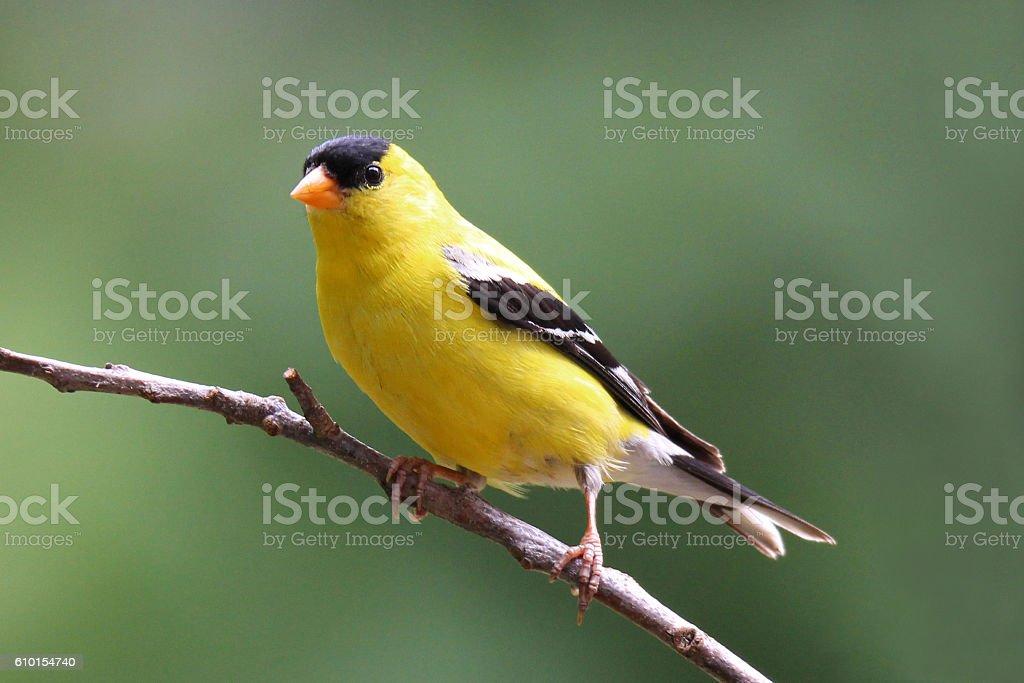 Perching Summer Goldfinch stock photo