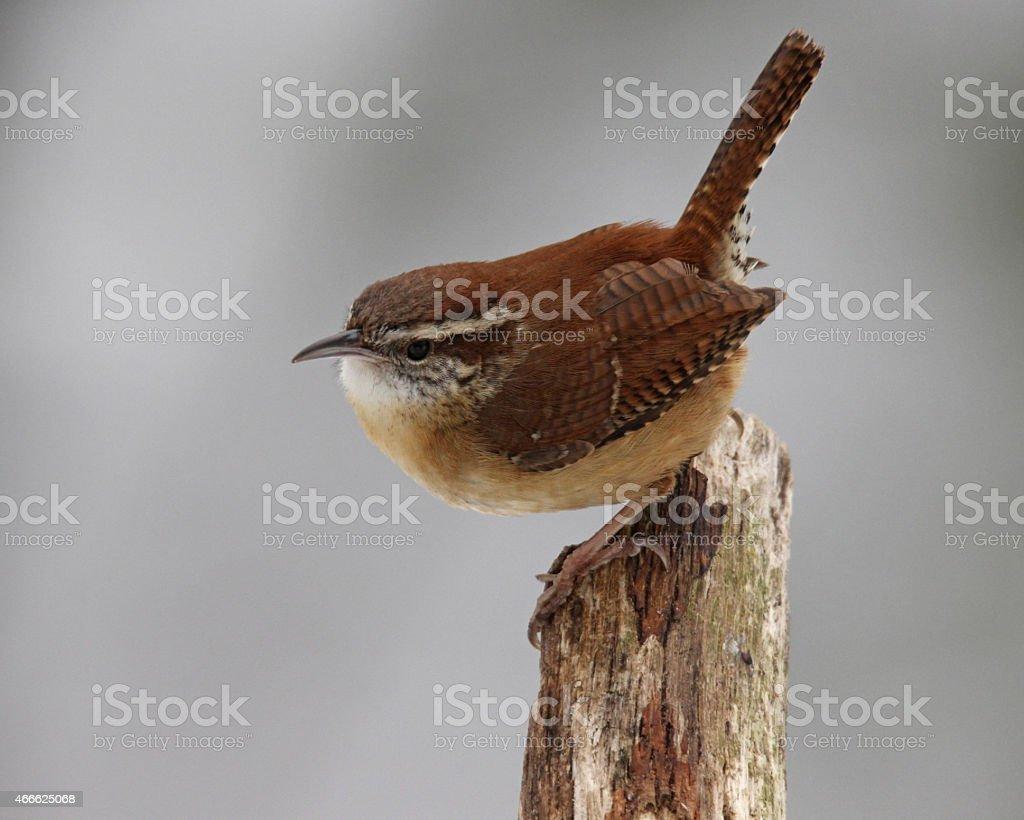 Perching Wren stock photo