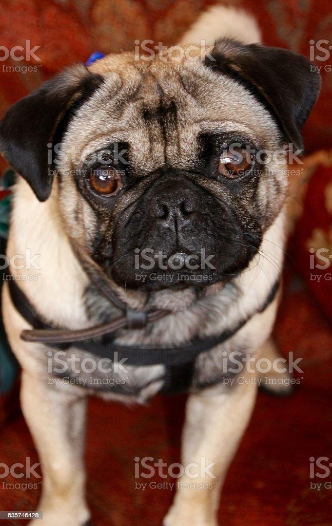 Percy the Pug stock photo