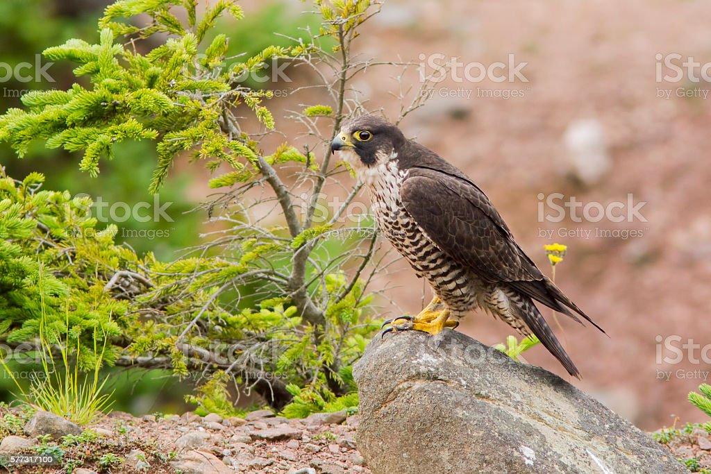 Peregrine Falcon at nest stock photo