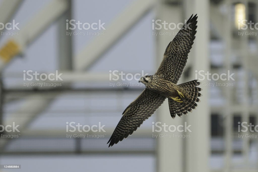 Peregrine Falcon by Steel Tower royalty-free stock photo