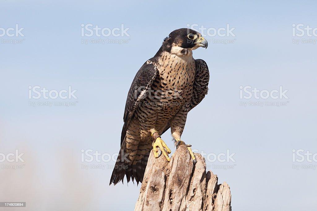 Peregrine Falcon closeup stock photo