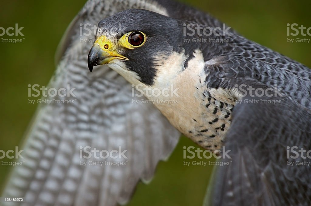 Peregrine Falcon (Falco peregrinus) Flaps Wings royalty-free stock photo