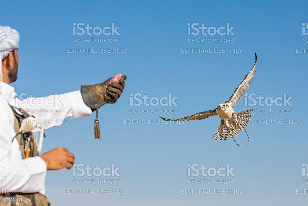 Peregrine Falcon flying in a desert near Dubai stock photo