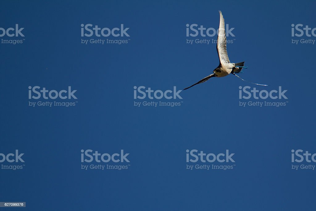 Peregrine falcon flying in the sky: Grouse Mountain, Vancouver, Canada stock photo
