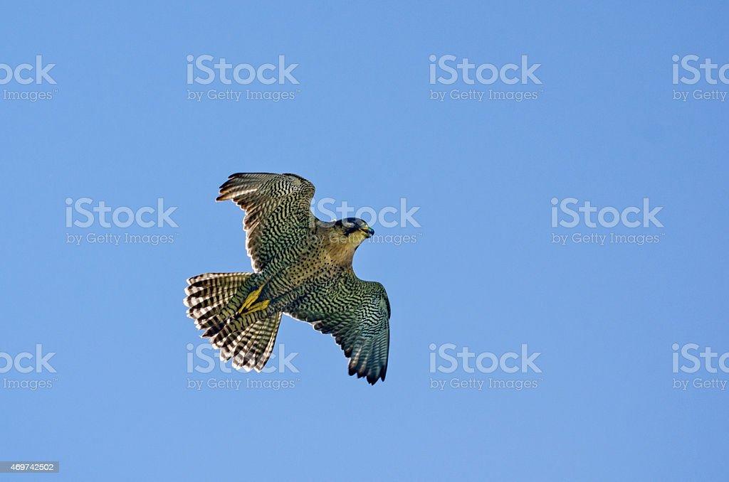 Peregrine Falcon In Flight Overhead stock photo