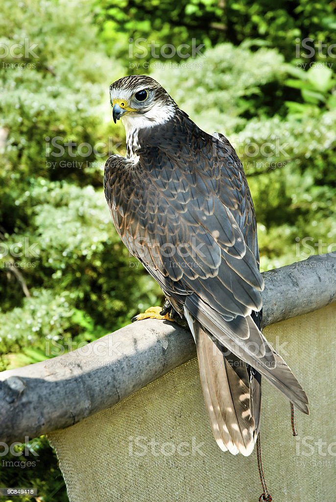 Peregrine Falcon In Jesses royalty-free stock photo