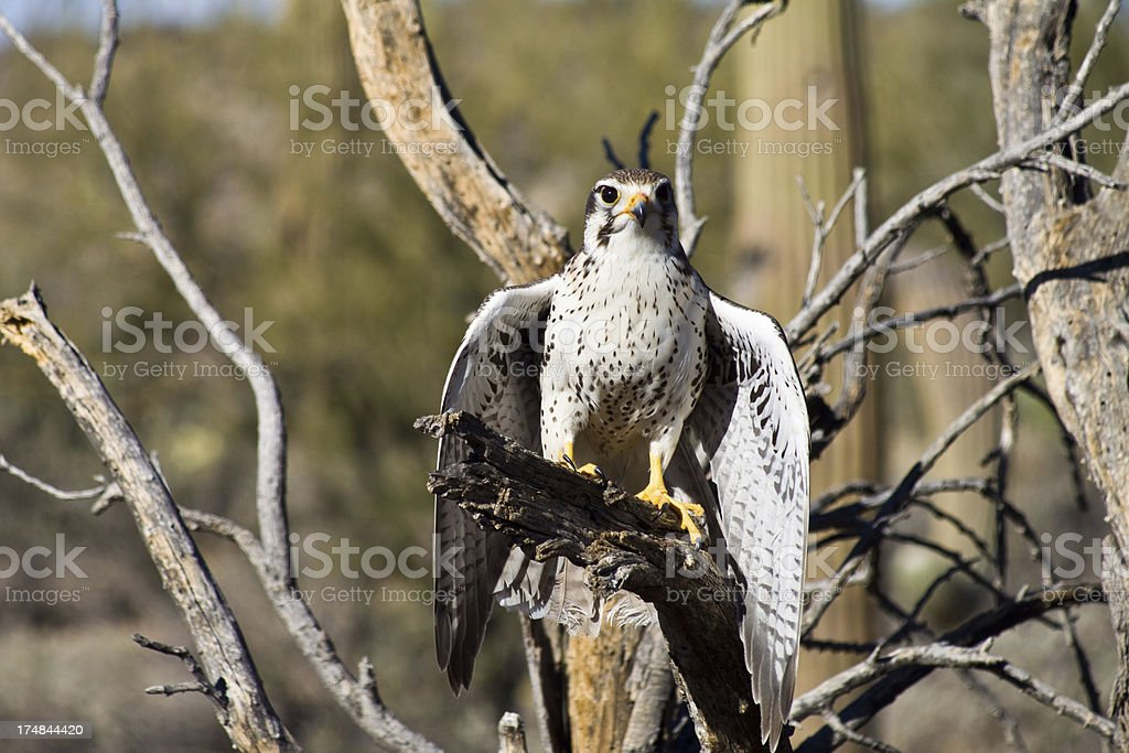 Peregrine Falcon in the Desert royalty-free stock photo