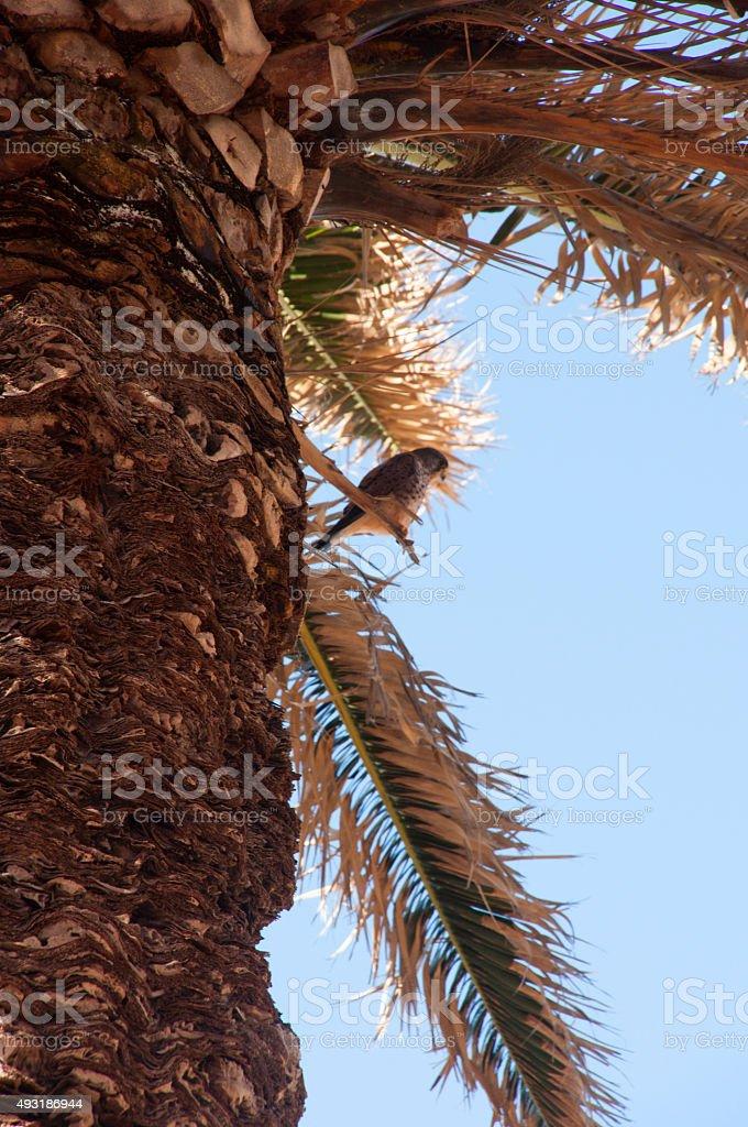 Peregrine Falcon in the Palm stock photo