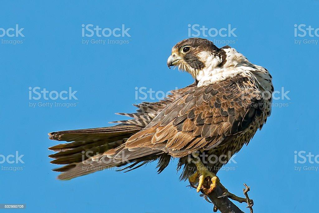 Peregrine Falcon in Tree stock photo
