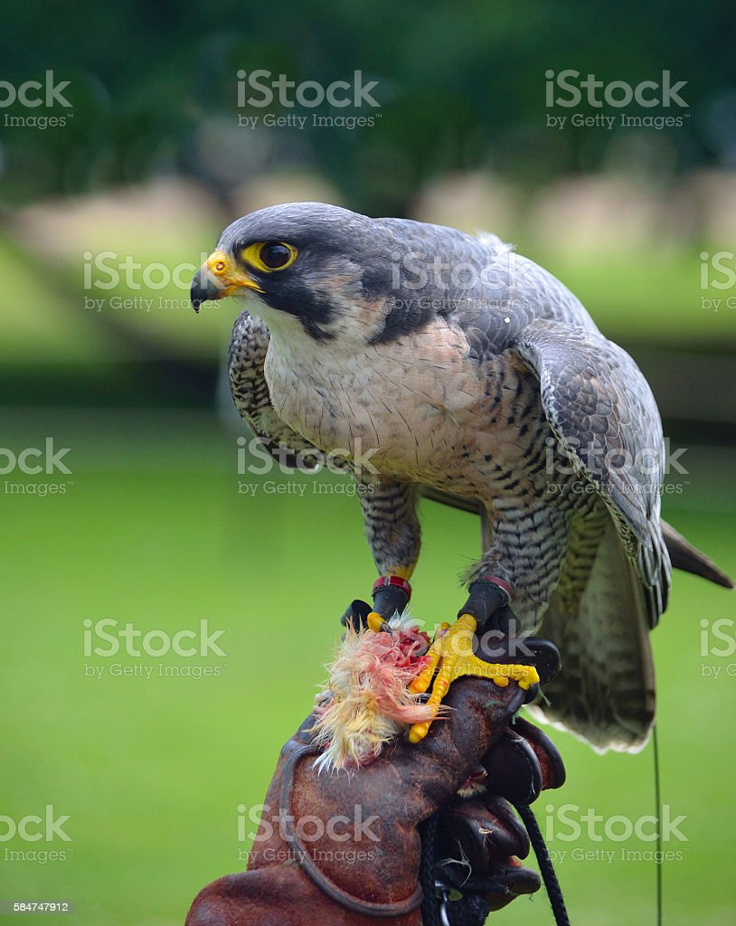 Peregrine Falcon on gloved hand. stock photo