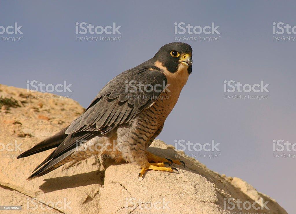 Peregrine Falcon on Sandstone royalty-free stock photo