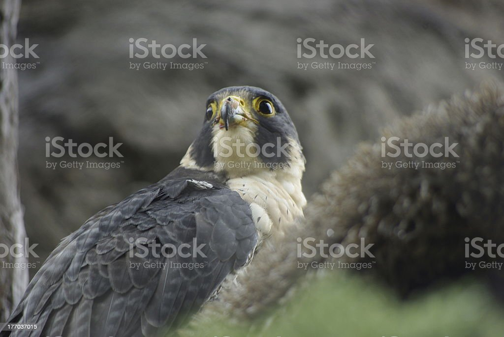 Peregrine Falcon Perched royalty-free stock photo