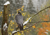 Peregrine falcon perching on the tree