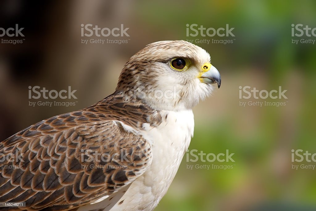 Peregrine Falcon ( Falco peregrinus ) royalty-free stock photo