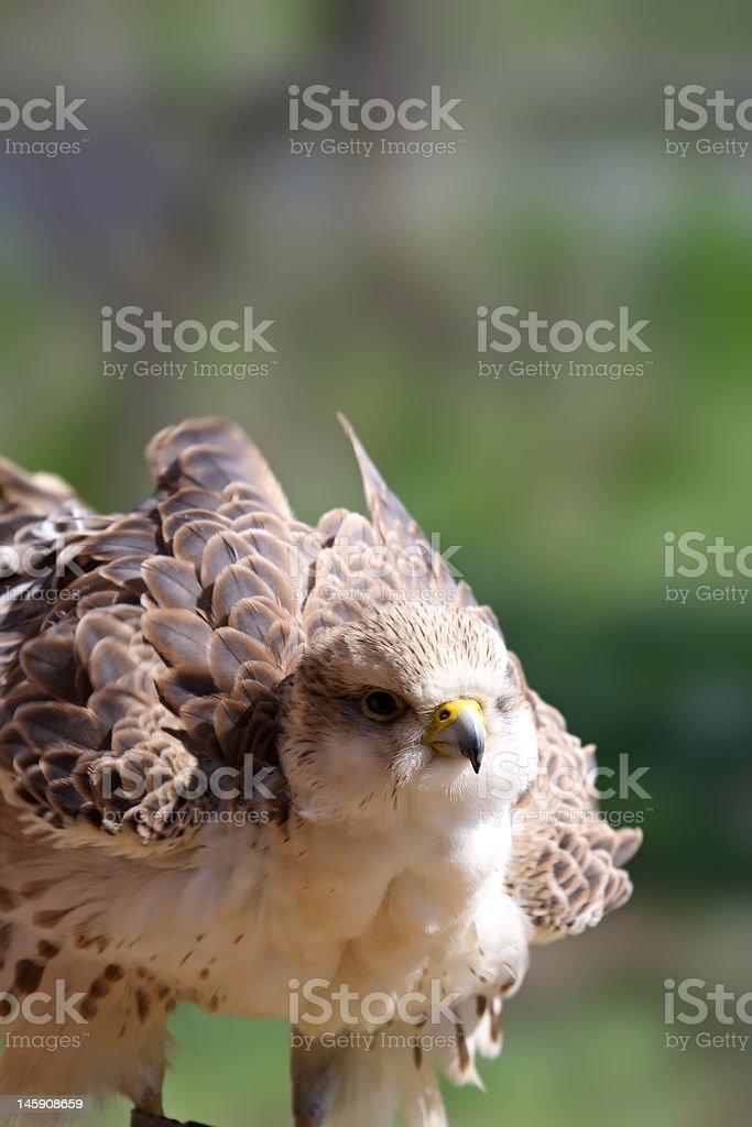 Peregrine Falcon ( Falco peregrinus ) royalty-free stock photo