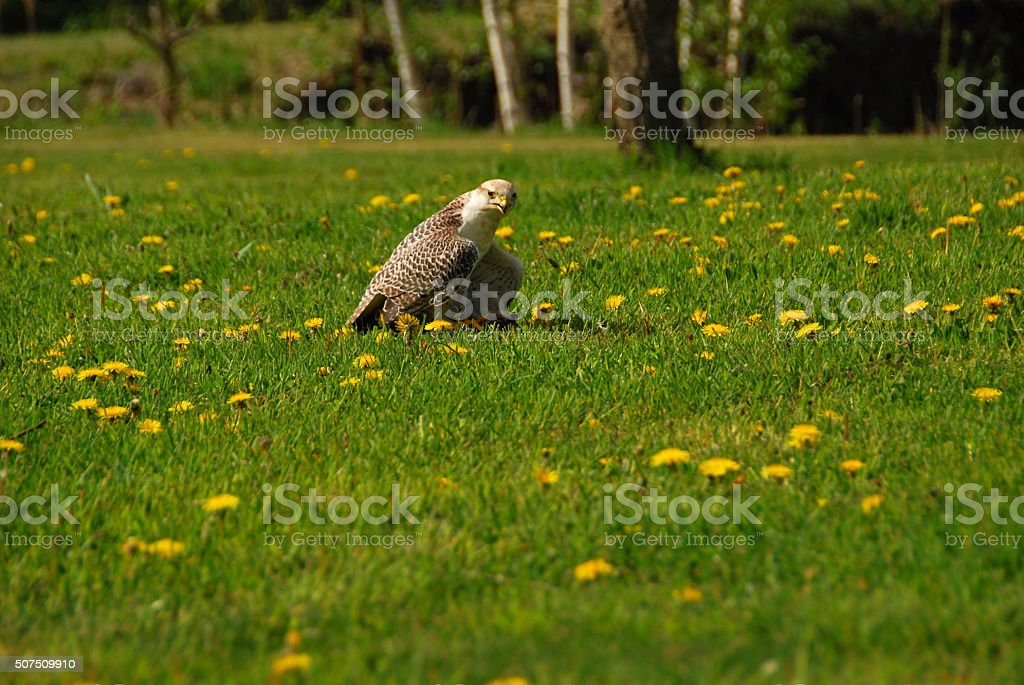 Peregrine Falcon resting in a meadow full of Dandelion stock photo