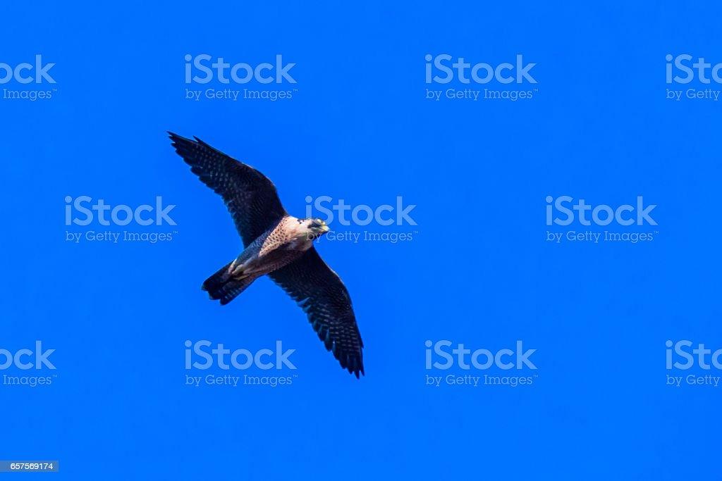 Peregrine Falcon seen in flight stock photo