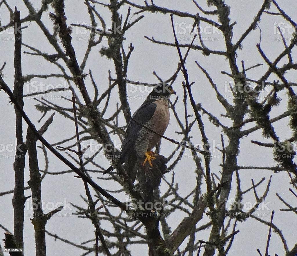 Peregrine Falcon With Prey stock photo