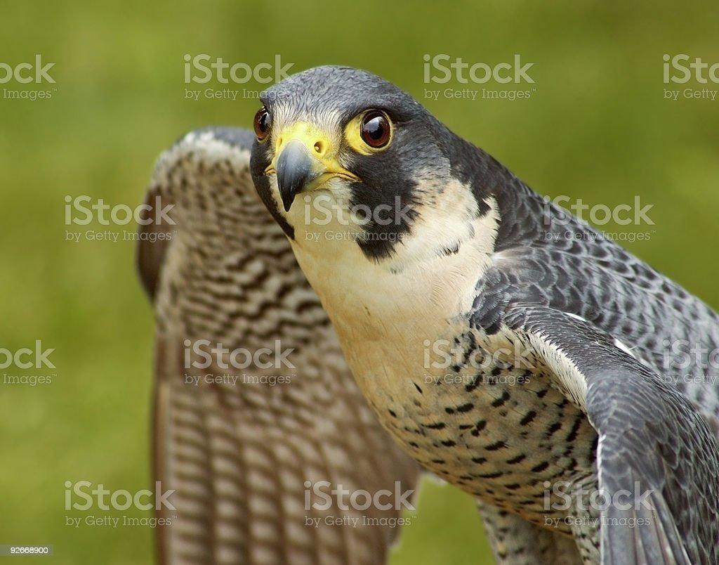 Peregrine Falcon (Falco peregrinus) with Spread Wings royalty-free stock photo