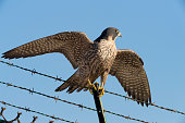 Peregrine with Spread Wings