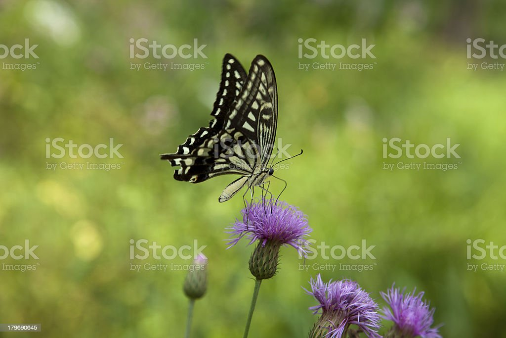 Perennial flowers and Papilio xuthus stock photo
