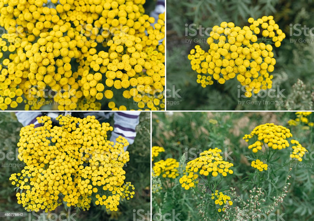 Perennial herb.Tansy (Tanacetum) stock photo