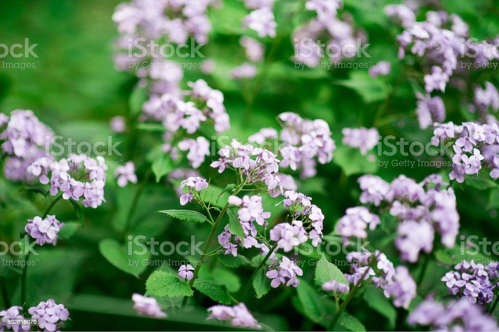 Perennial honesty or Lunaria rediviva flowers macro with dark bokeh background, selective focus, shallow DOF. stock photo
