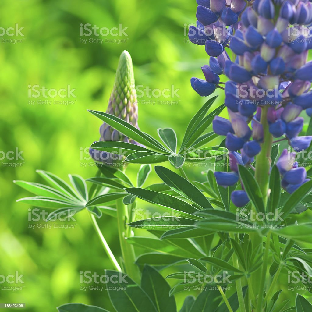 Perennial Lupine (Lupinus Perennis) [square composition] - VIII stock photo
