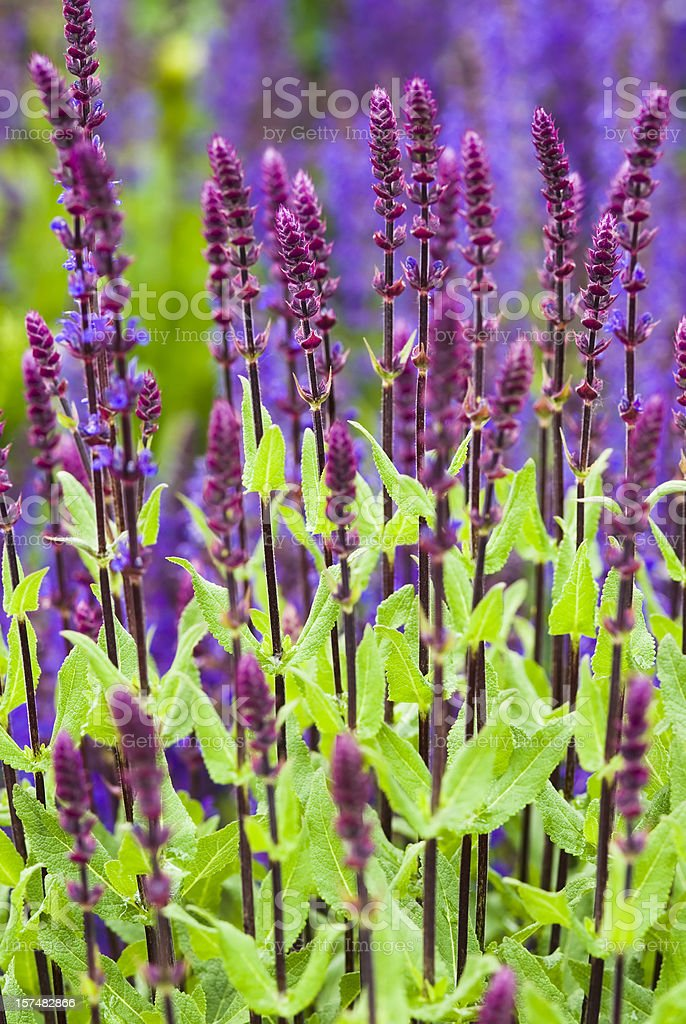 Perennial Sage (Salvia nemarosa) - IV royalty-free stock photo