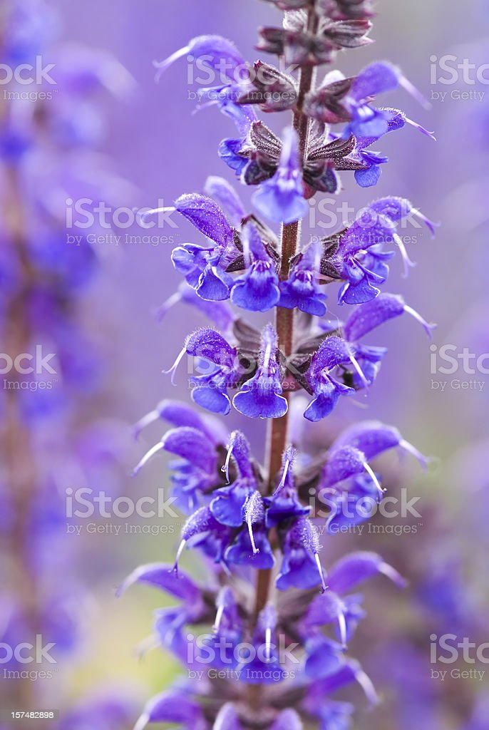 Perennial Sage (Salvia nemarosa) - V royalty-free stock photo