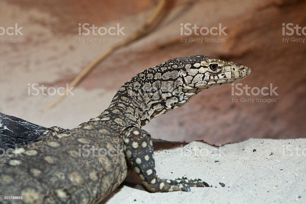 Perentie Lizard stock photo
