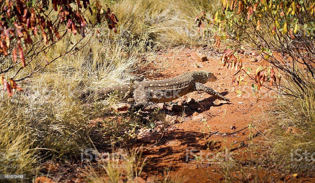 Perentie Monitor Lizard in Northern Territory, Australia stock photo