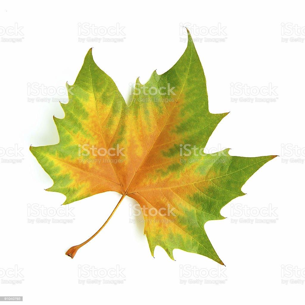 perfect autumn leaf stock photo