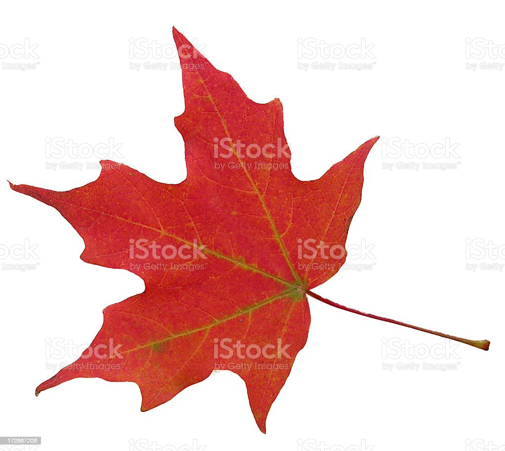 Perfect autumnal maple leaf royalty-free stock photo