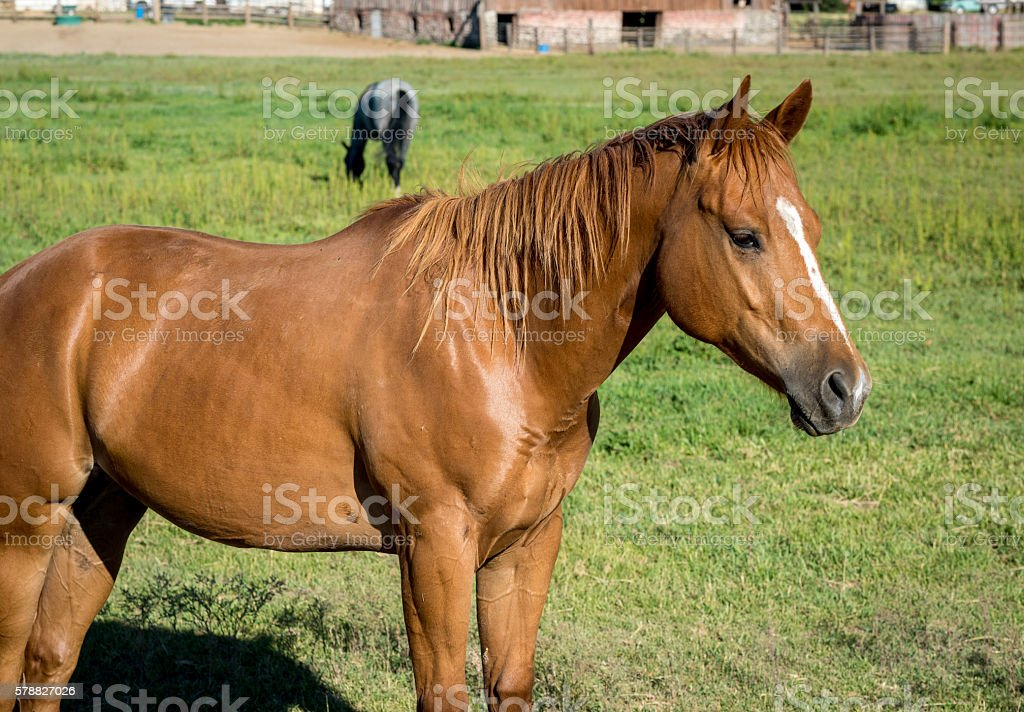 Perfect brown horse standing in a field stock photo