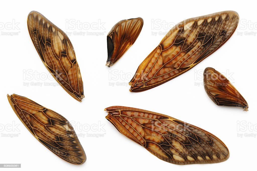 Perfect Cicada's wings collection on white background royalty-free stock photo