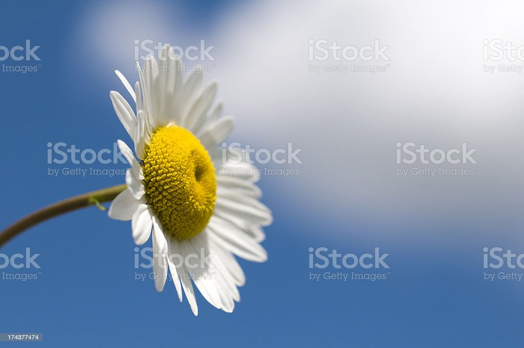 Perfect Daisy Flower and Sky Background royalty-free stock photo