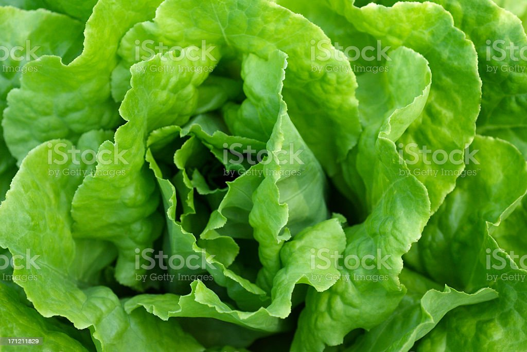 Perfect green crispy leafy lettuce royalty-free stock photo