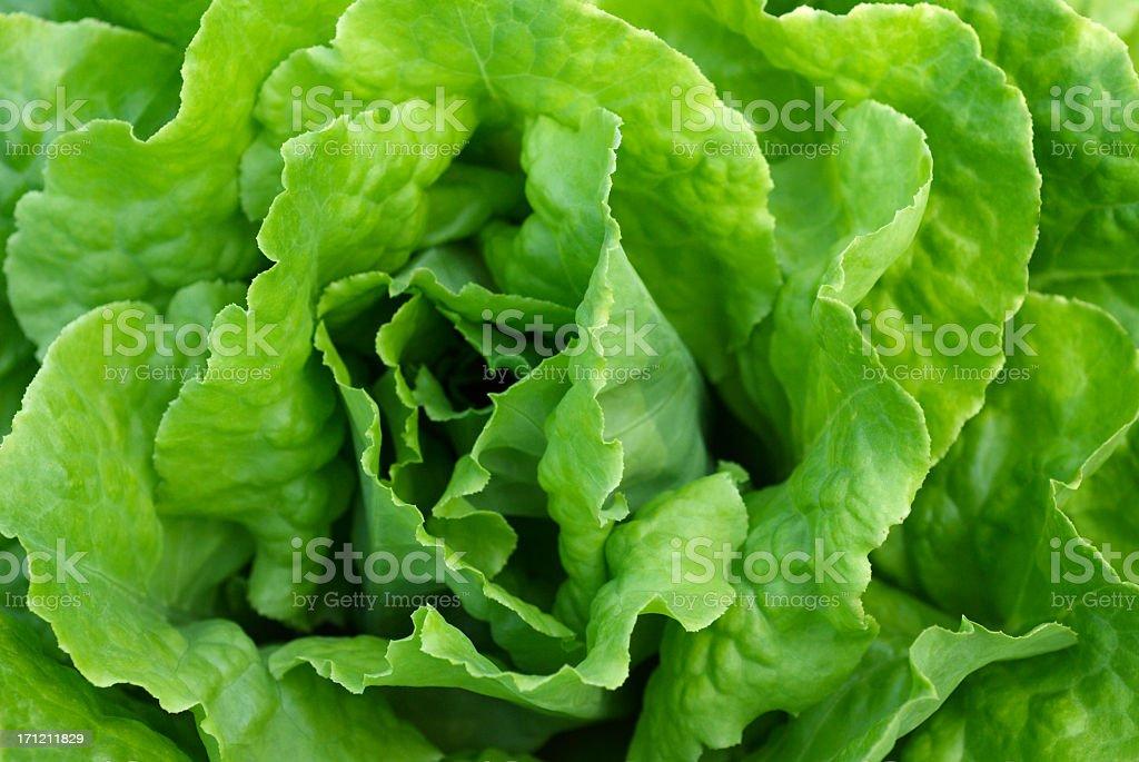 Perfect green crispy leafy lettuce stock photo