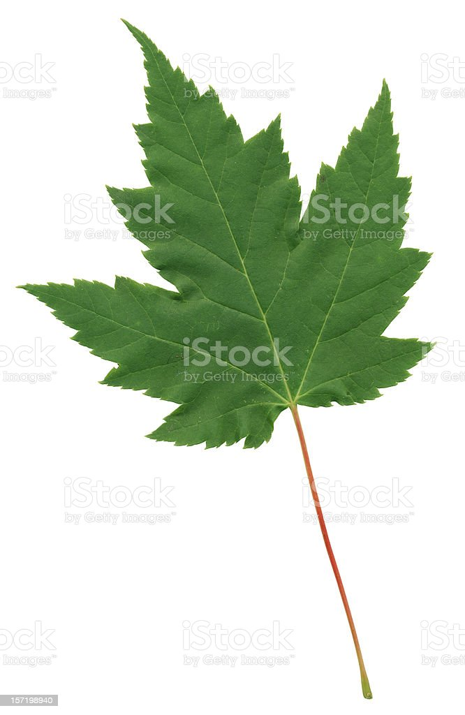 Perfect Green Maple Leaf With Red Stem, Isolated & Clipping Path royalty-free stock photo