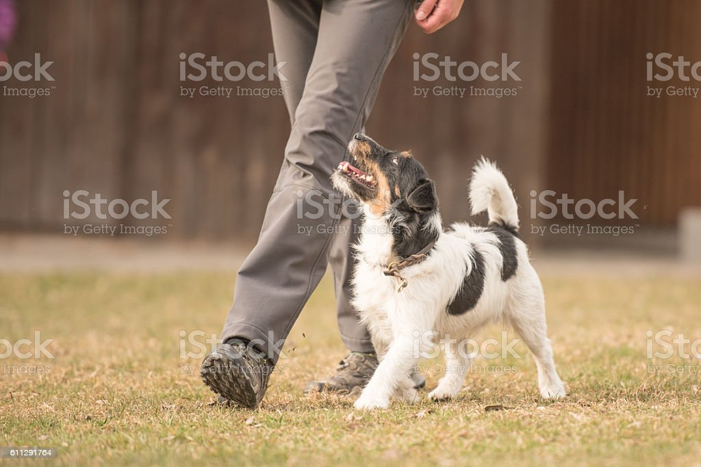 Perfect heelwork with a small jack russell terrier dog stock photo